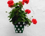 Pots of geraniums galore!
