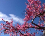 Floss Silk Tree in full bloom