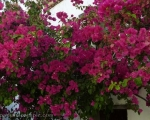 More Bougainvilla, more and more and more!!!