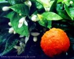 """AZAHAR"" - Orange Blossom in Andalucía"