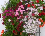 Fabulous show of geraniums in a typical Andalucían village window. www.spanishsosimple.com